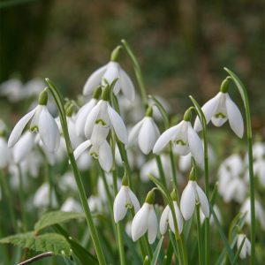 Galanthus (Snowdrop)