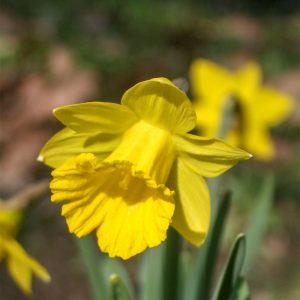 Tenby-Daffodil