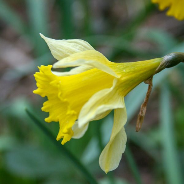 Wild-Daffodil