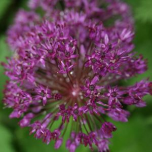 Allium-hollandicum-Purple-Sensation