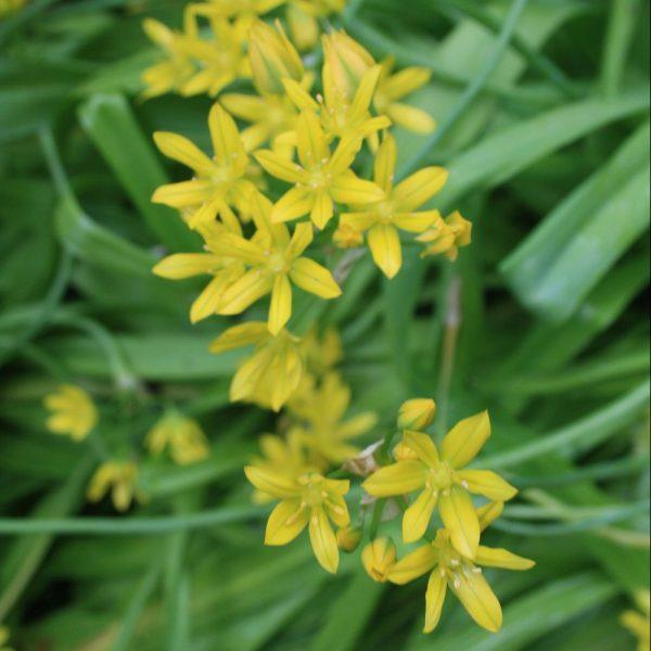Allium-moly