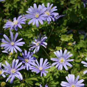 Anemone-blanda-Blue