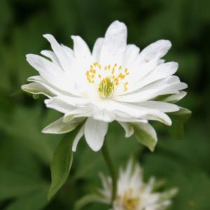 Anemone-nemorosa-Bracteata-Pleniflora