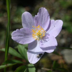 Anemone-nemorosa-Robinsoniana