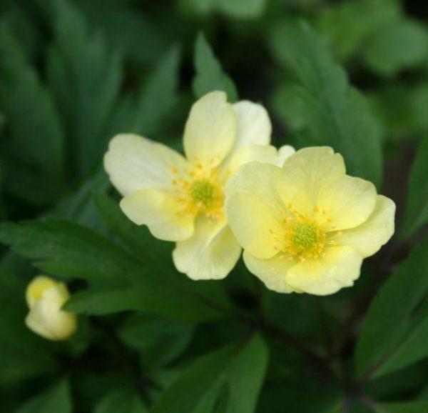 Anemone-x-lipsiensis-Pallida