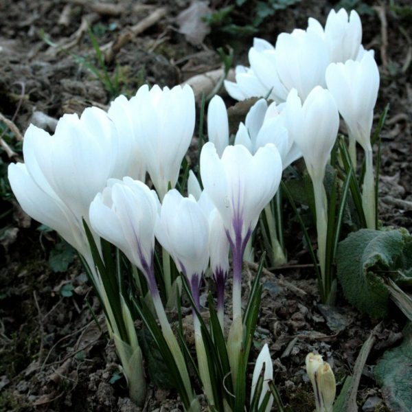 Crocus-Jeanne-D'Arc