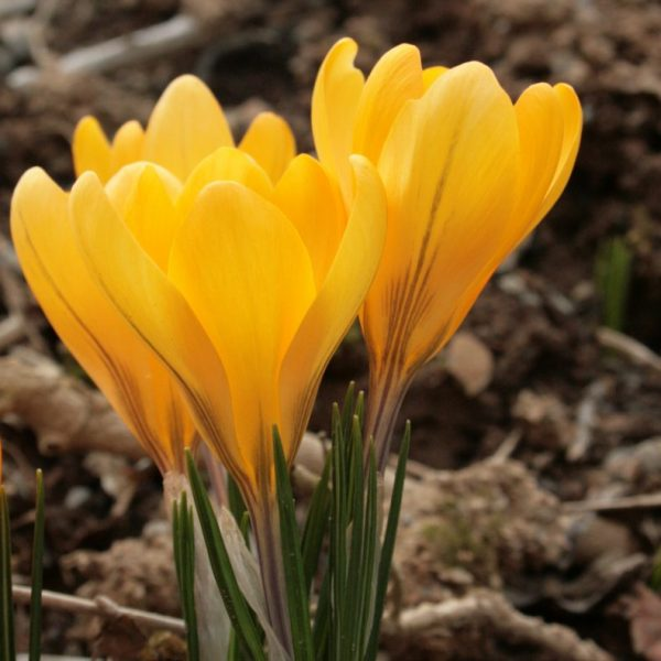 Crocus-x-luteus-Golden-Yellow