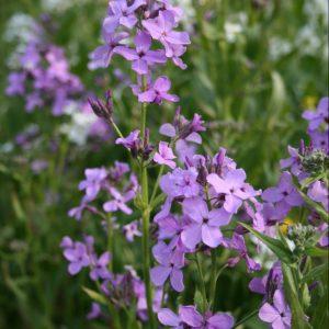 Dames-Violet