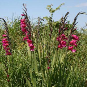 Gladiolus-communis-ssp-byzantinus