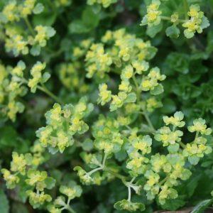 Golden-Saxifrage