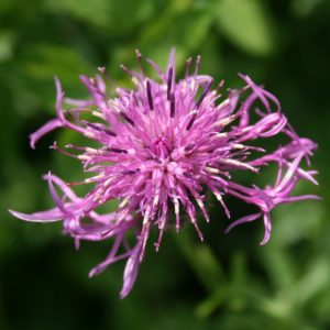Greater-Knapweed