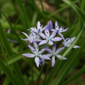 Hyacinthoides-italica