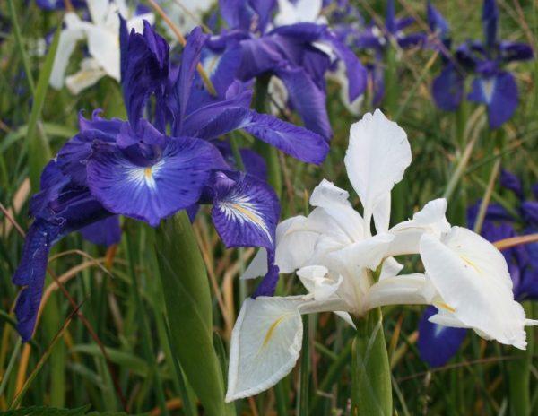 Iris-latifolia