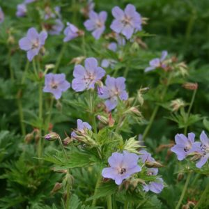 Meadow-Cranesbill
