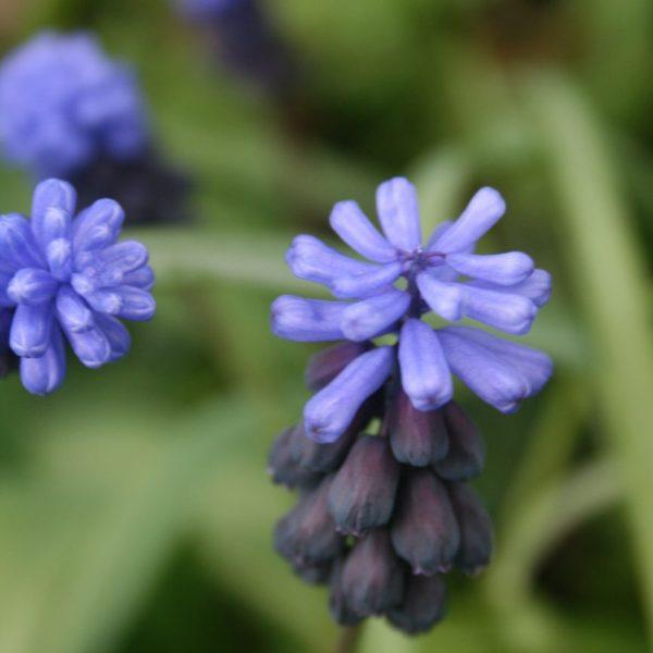 Muscari-latifolium