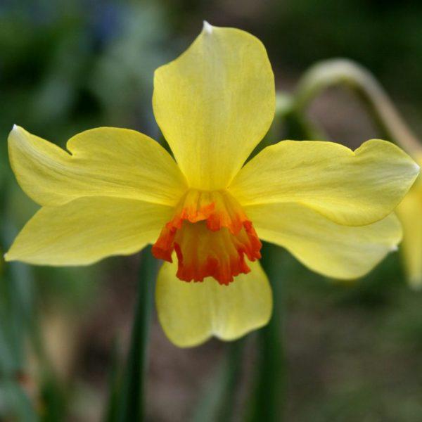 Narcissus-Barii-Conspicuus