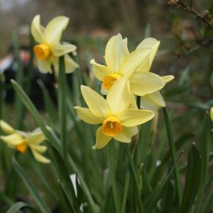 Narcissus-Beryl