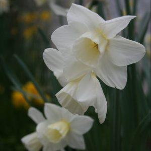 Narcissus-Curlew