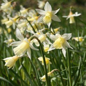 Narcissus-Elka