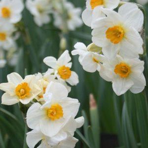 Narcissus-Elvira