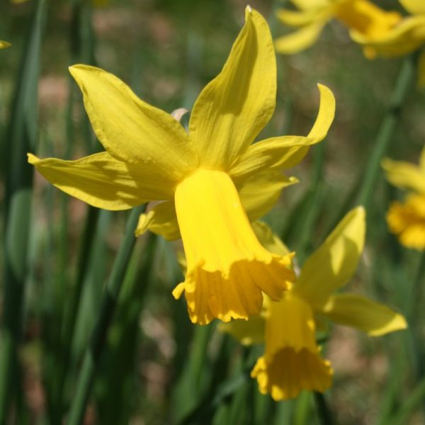 Narcissus-February-Gold