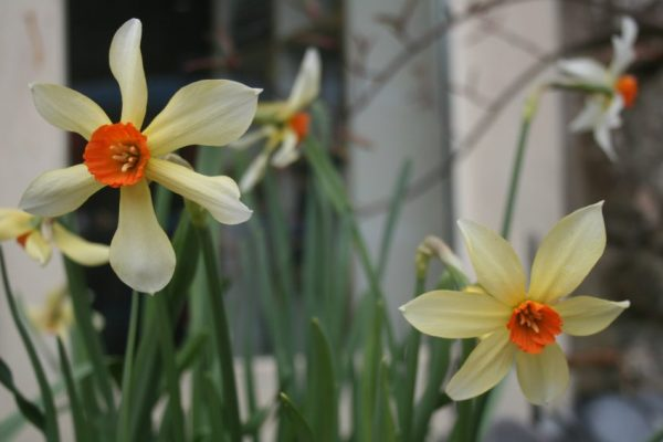 Narcissus-Firebrand