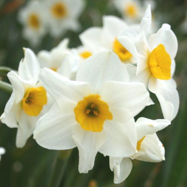 Narcissus-Geranium