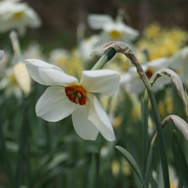 Narcissus-Glory-of-Lisse