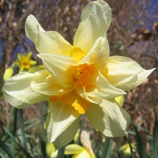 Narcissus-Golden-Phoenix