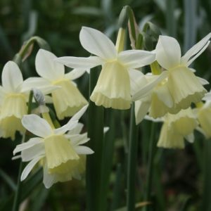 Narcissus-Lemon-Drops