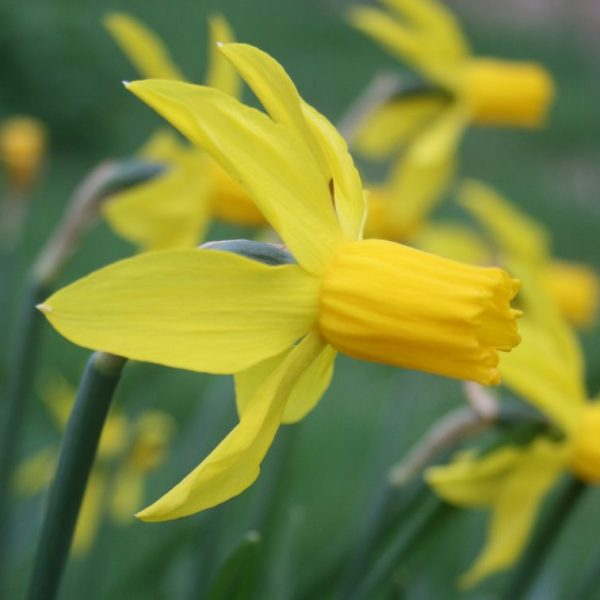Narcissus-Little-Witch