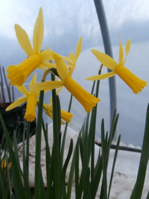 Narcissus-Mite