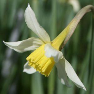 Narcissus-Mrs-Langtry