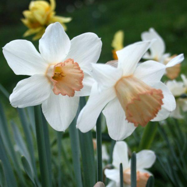 Narcissus-Mrs-RO-Backhouse