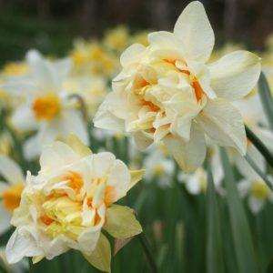 Narcissus-Orange-Phoenix