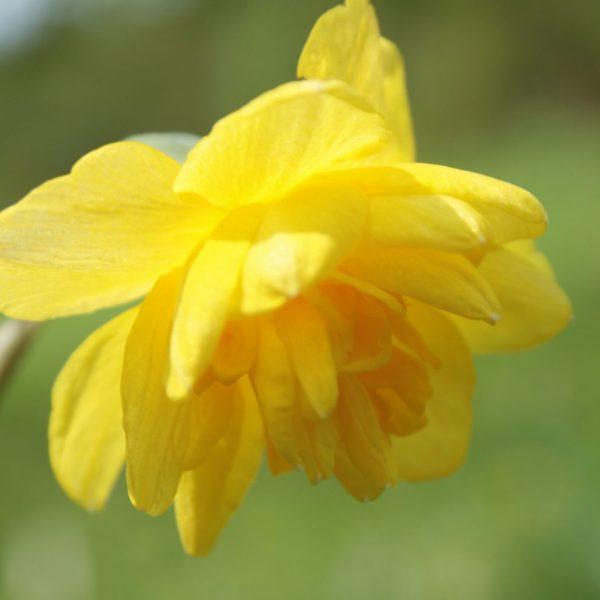 Narcissus-Pencrebar