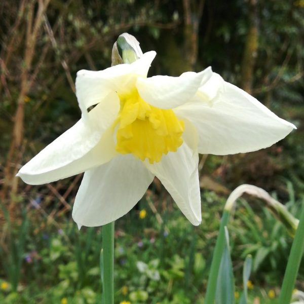 Narcissus-Queen-of-the-North