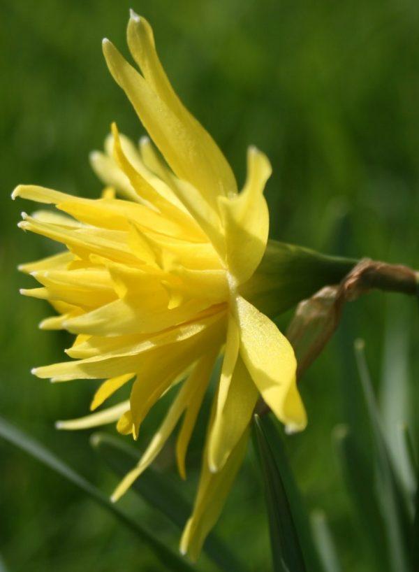 Narcissus-Rip-Van-Winkle