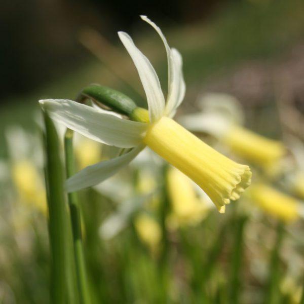 Narcissus-Snipe
