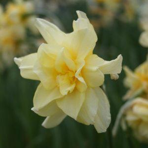 Narcissus-Sulphur-Phoenix