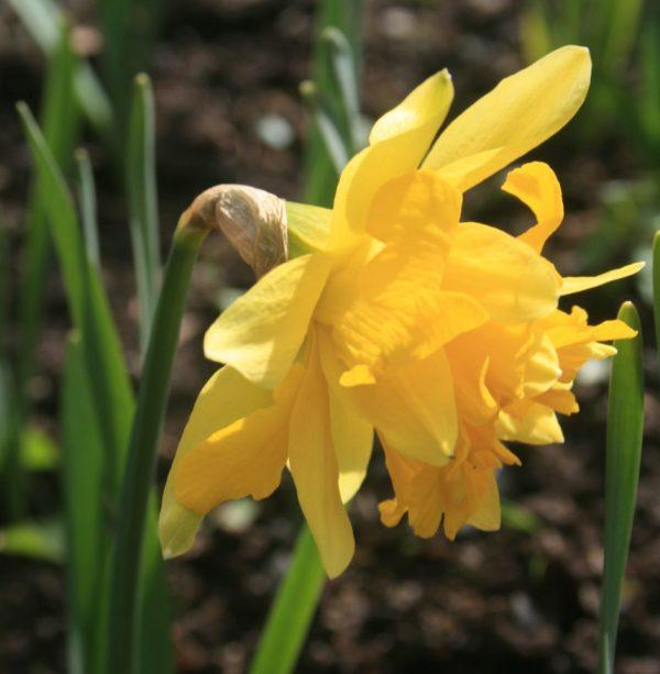 Narcissus-Telamonius-Plenus