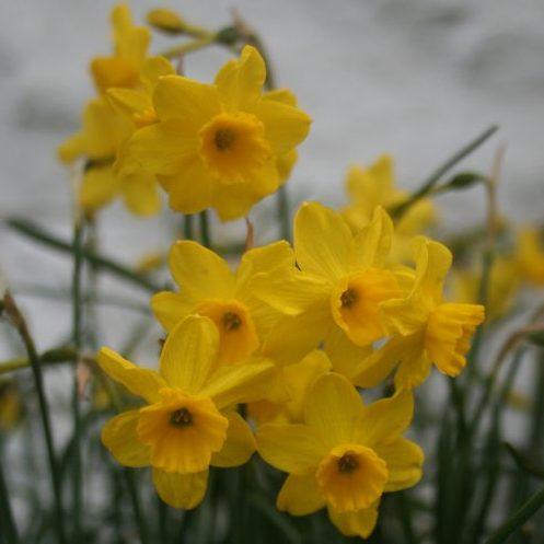 Narcissus-assoanus