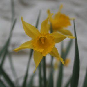 Narcissus-hispanicus