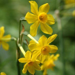 Narcissus-jonquilla