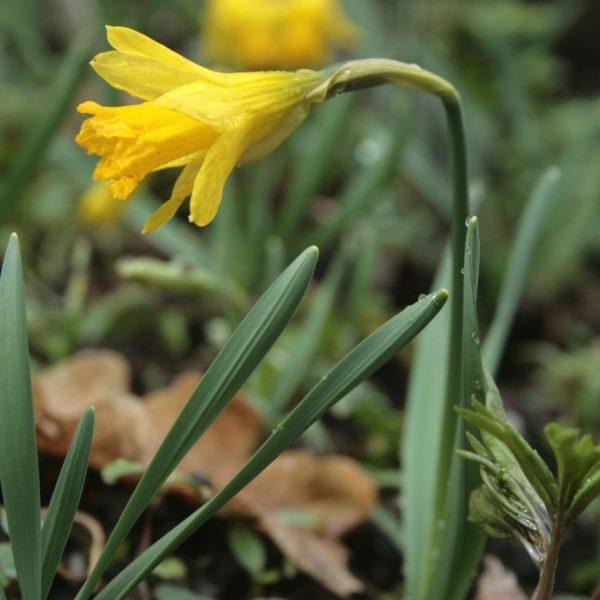 Narcissus-minor