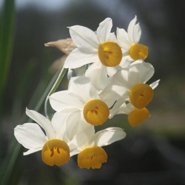 Narcissus-x-Odoratus