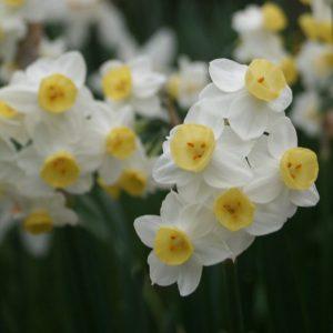 Narcissus-x-compressus