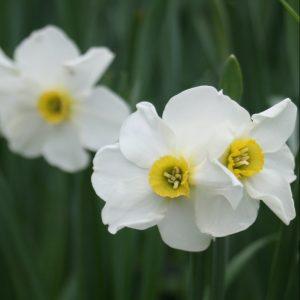 Narcissus-x-medioluteus