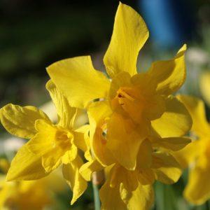 Narcissus-x-odorus