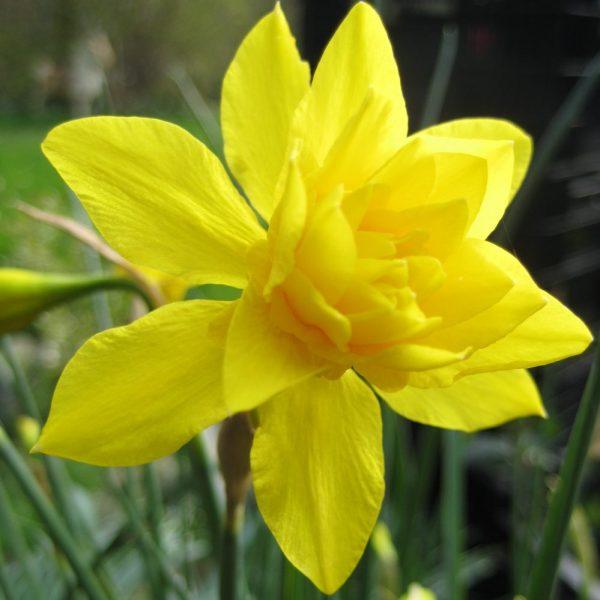 Narcissus-x-odorus-plenus
